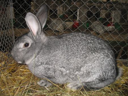 An American Chinchilla